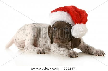 christmas puppy - german shorthaired pointer wearing santa hat