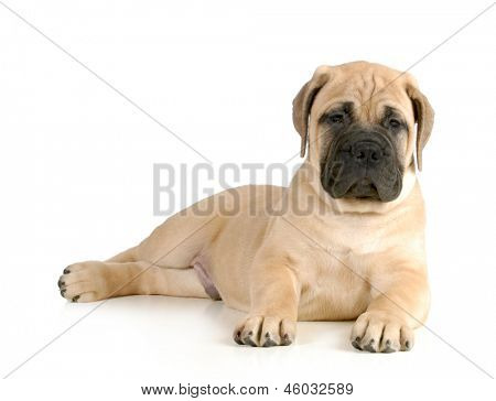 cute puppy - bullmastiff puppy laying down looking at viewer isolated on white background - 8 weeks old