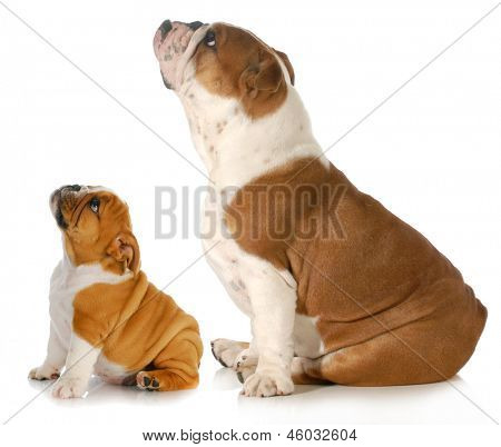 two dogs looking up - two english bulldogs sitting side profile looking upwards isolated on white background