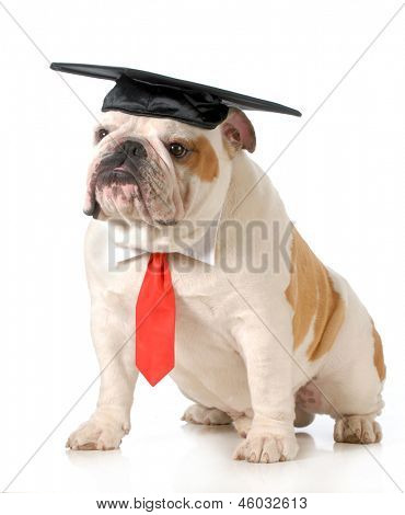 pet graduation - english bulldog wearing graduation cap and red tie sitting on white background - one year old