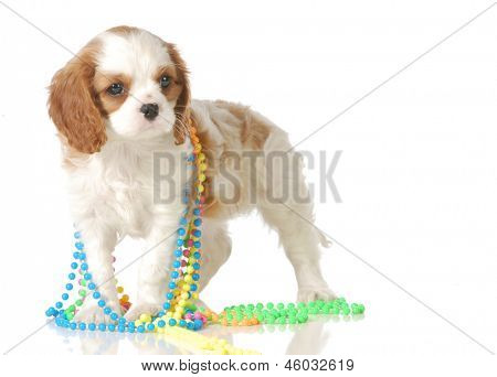 cute puppy playing with colorful beads isolated on white background - cavalier king charles spaniel - 7 weeks old
