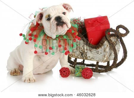 christmas puppy - english bulldog puppy sitting beside sleigh full of presents isolated on white background