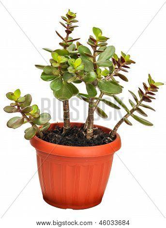 houseplant crassula or monetary tree