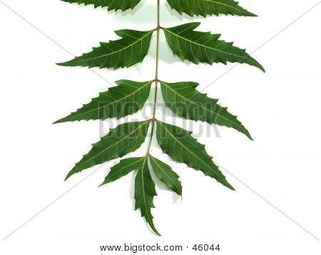 Neem Leaves (healing-properties).