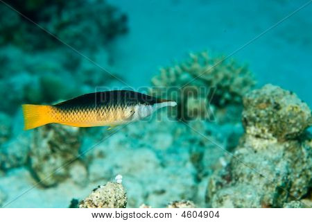 Indian Bird Wrasse