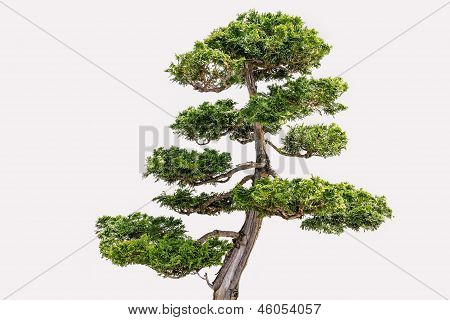 Isolated Hikoni Cypress Bansai on White Background