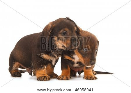 Dachshund puppies embracing - together forever, isolated on white