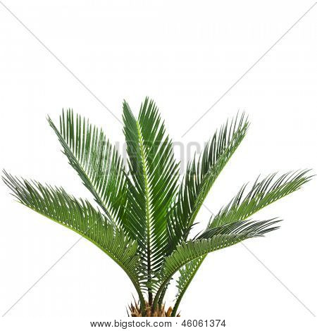 Young palm tree isolated on white background