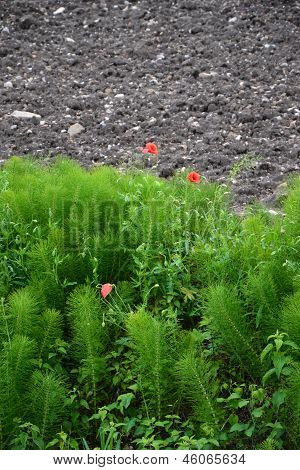 Poppy flowers by the agricultural land