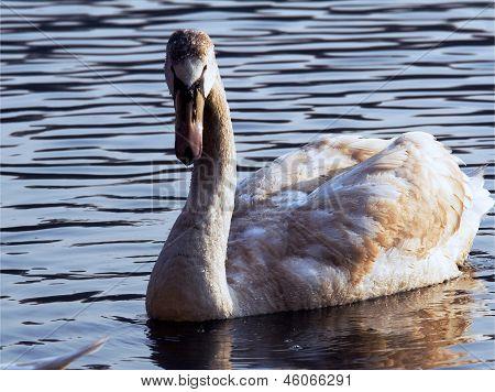 Side Of Little White Swan
