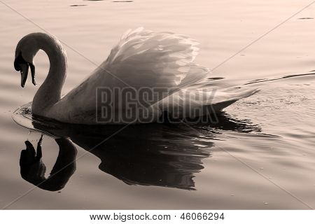 Swan    Black Eye In The River
