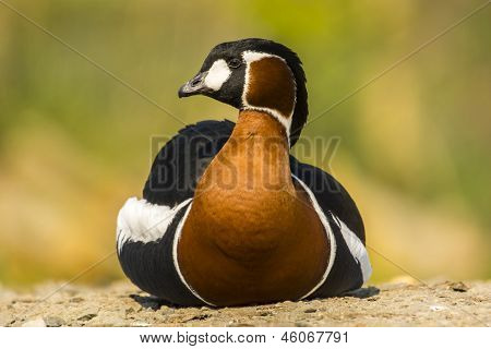 Red Breasted Goose / Branta ruficollis