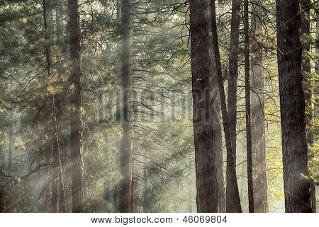 Rays of early morning light in a pine forest in Yosemite national park. Dreamy effect