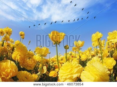Triangular flock of cranes flying over a field of pretty yellow blooming ranunculus