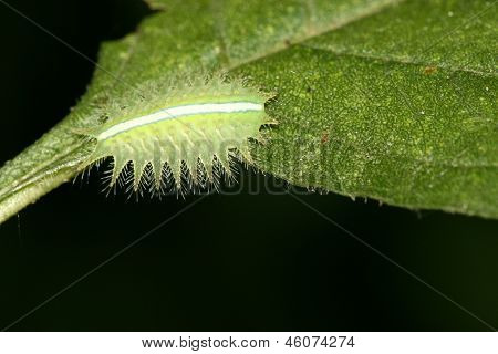 Lepidoptera On Green Leaf In The Wild