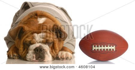 Bulldog Wearing Sweatsuit With Football