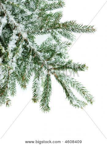 Fir Branch