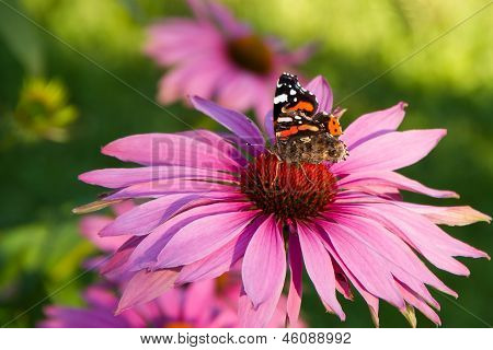 Echinacea with butterfly