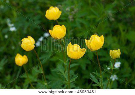 Globe-flowers