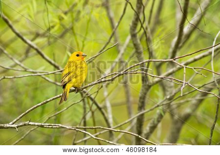 yellow warbler on a branch