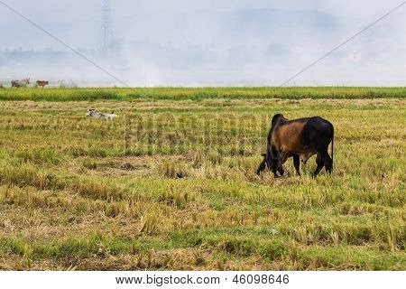 Rural Landscape With Cow And Birds In The Field