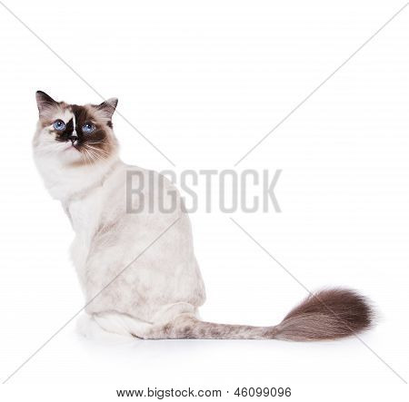 Shaved Ragdoll Cat