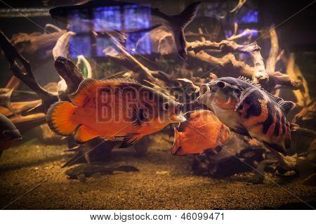 Shoal Of Piranha Fishes In An Aquarium