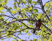 foto of sun perch  - A robin is seen in the lower right frame perched on a branch of a leafy green tree - JPG
