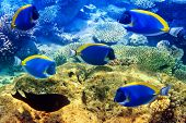 stock photo of mauritius  - Powder blue tang in corals - JPG
