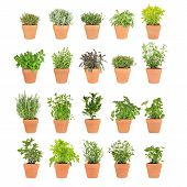 stock photo of hyssop  - Large herb selection growing in twenty terracotta pots over white background - JPG