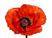 pic of single flower  - Flower of a red poppy on a white background - JPG