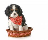 puppy - cavalier king charles spaniel puppy sitting in a basket isolated on white background - 7 wee