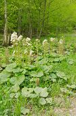 stock photo of butterbur  - Butterbur seeding - JPG
