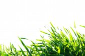 stock photo of manicured lawn  - Beautiful green lawn isolated on a white - JPG
