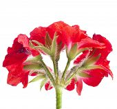 geranium pelargonium heads bloom close up macro shot isolated on white background