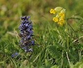 stock photo of cowslip  - Bugle  - JPG