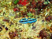 stock photo of slug  - The surprising underwater world of Philippine sea - JPG