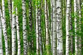 stock photo of birching  - Trees in the birch wood in a spring - JPG