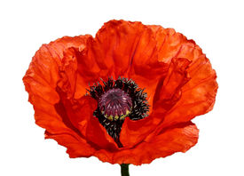 picture of single flower  - Flower of a red poppy on a white background - JPG