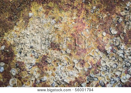 Texture Of Sea Animal On The Rock