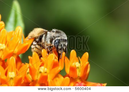 Golden Northern Bumblebee On A Flower