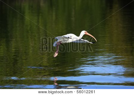 White Ibis (eudocimus Albus) Flying