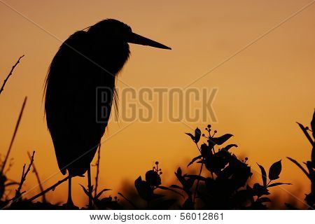 Great Blue Heron (ardea Herodias) Silhouette At Sunrise