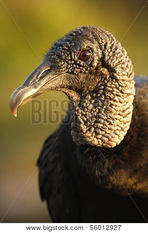 Portrait Of Turkey Vulture (cathartes Aura)