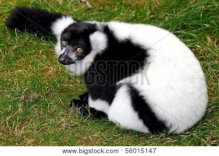 Black and White Ruffed Lemur (Varecia variegata)