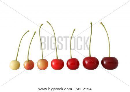 Cherry Ripening Succession.