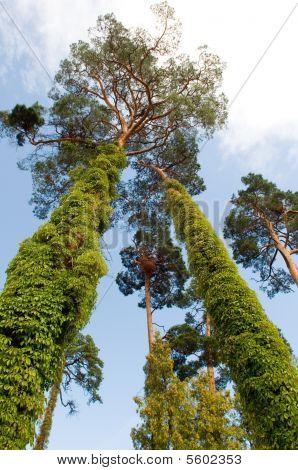 Pine-trees Of Latvia