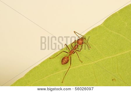 weaver ant on the green leaf