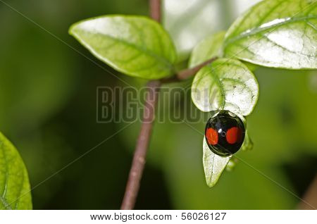 lady bug on the tree leaf