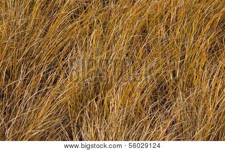 Tussock Grass